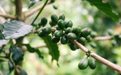 Café Verde, como tomarlo y sus beneficios en nuestro cuerpo