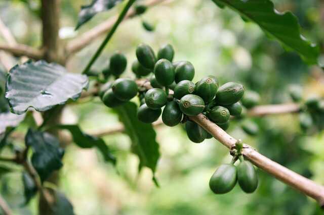 planta de café verde